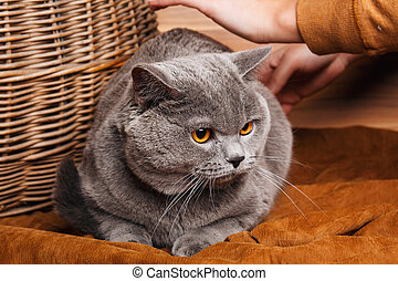 British Shorthair cat on a wooden background