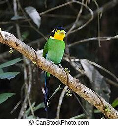 Long-tailed Broadbill - Beautiful Broadbrill, Long-tailed ...