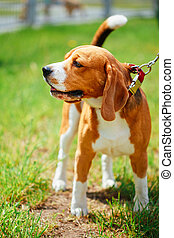 Beautiful Brown And White Beagle Dog Standing outdoor In Grass
