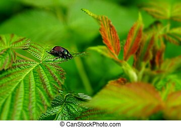 beautiful brown beetle on a green leaf in the garden