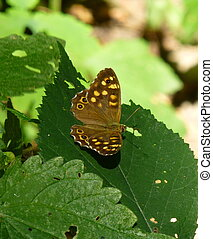 Beautiful brown butterfly with yellow spots sitting on the leaf of a green plant