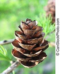 Beautiful brown cones on a tree macro