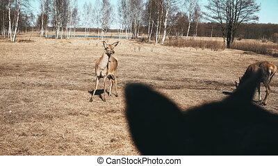 Beautiful brown deer feeding on the field. Cute little fawns...