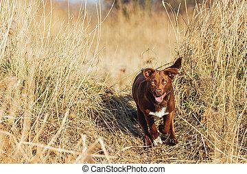 beautiful brown dog runs across the field