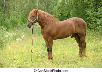 beautiful brown horse in summer