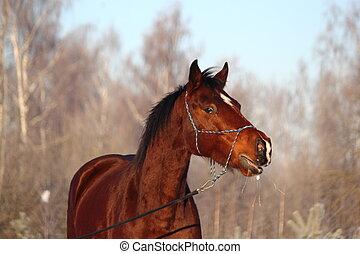 Beautiful brown horse portrait in winter