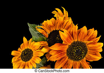 Beautiful brown sunflowers on black background