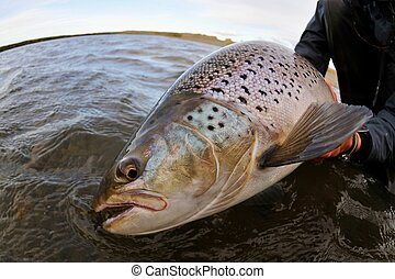 Beautiful sea-run brown trout caught while fly fishing in Argentina