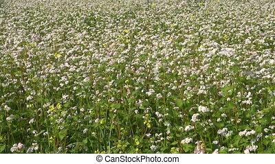 beautiful buckwheat farm field