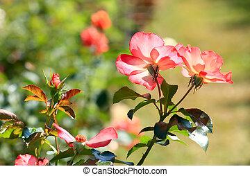 beautiful bush of red roses
