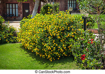 Beautiful bush with yellow flowers on the hotel