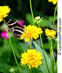 Beautiful Butterfly - Close up shot of a butterfly called a ...