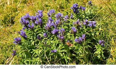 Beautiful butterfly comes down on willow gentian flowers in summer