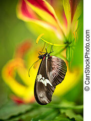 Beautiful butterfly Heliconius Hacale zuleikas in tropical ...