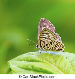 Beautiful butterfly. Lesser Grass Blue Zizina otis.