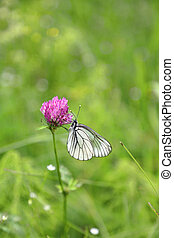 Beautiful butterfly on a pink clover