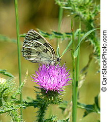 Beautiful butterfly on a pink thistle