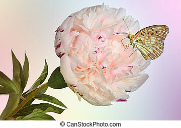 Beautiful butterfly on delicate creamy-pink peony flower with green leaves