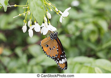 Beautiful butterfly on white flower, Close-up butterfly