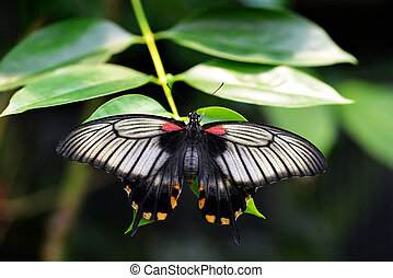 Beautiful butterfly Papilio rumanzovia or Scarlet Mormon.