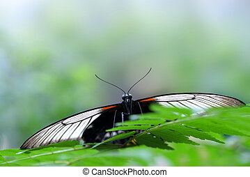 Beautiful butterfly Papilio rumanzovia or Scarlet Mormon resting on a leaf.