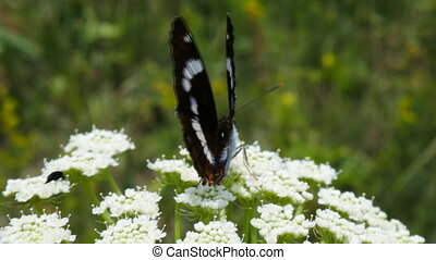 Beautiful butterfly Satyr on umbrella of bishop's elder 2 -...
