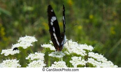 Beautiful butterfly Satyr on umbrella of bishop's elder 2 -...