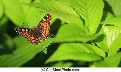 beautiful butterfly sits on succulent green leaves , wild...