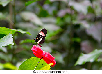 Beautiful butterfly with black wings and red