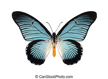 Beautiful butterfly with cyan wings isolated on white. -...
