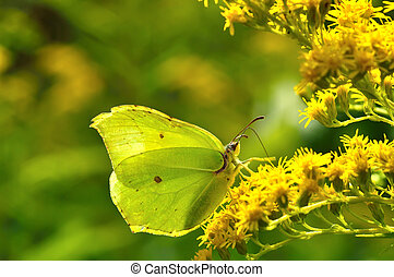 Beautiful Gonepteryx rhamni sitting on a yellow flower