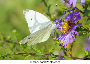 Butterfly (Pieris brassicae) on a garden flower at sunny day