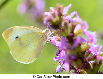Cabbage white butterfly - Beautiful Cabbage white butterfly...