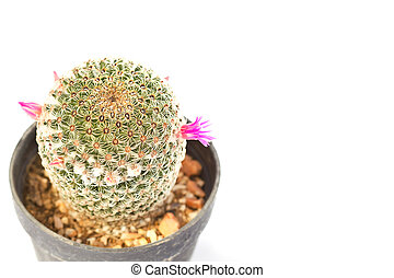 beautiful cactus flower isolated on white background