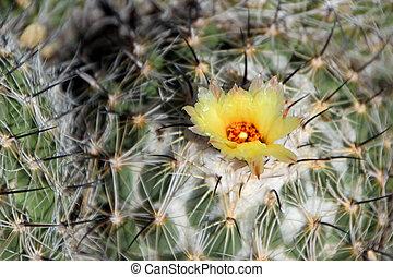Beautiful Cactus in Bloom at Desert Botanical Garden Phoenix, AZ