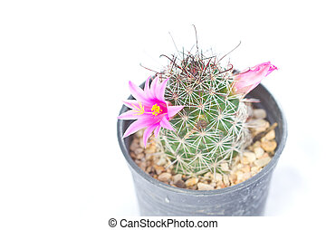 beautiful cactus with pink flower isolated on white background