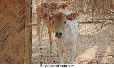 Beautiful calf typical of the type of cows bred in Bagan...