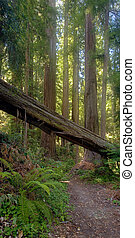 Beautiful California Redwood Forest