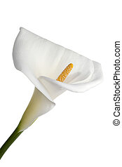 beautiful calla lily