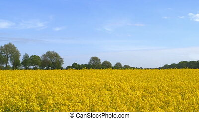 Beautiful Canola Field - Camera Pan - Beautiful canola field...