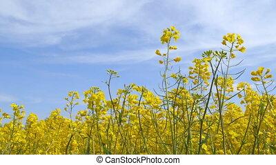 Beautiful Canola Field - Camera Pan - Beautiful canola field...