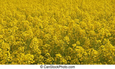 Beautiful Canola Field - Dolly Shot - Beautiful canola field...