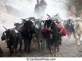 beautiful caravan of goats in western Nepal with goods going...