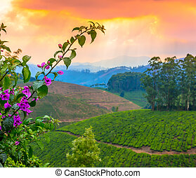 beautiful card of landscape tea plantations in a pre-dawn ...
