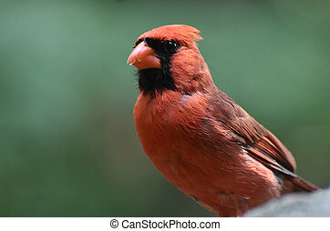 Beautiful Cardinal With Crumbs in his Beak