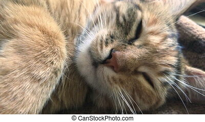 beautiful cat muzzle close up