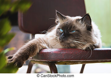 Beautiful cat with blue eyes sits on a chair.