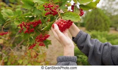 Beautiful caucasian girl or woman holding a bunch of red viburnum in her hands.