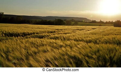 Beautiful cereal field in the sunse