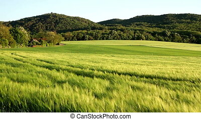 Beautiful cereal field